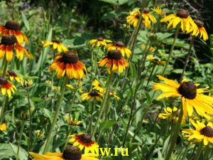 Рудбекия гибридная (rudbeckia hybrida) астровые (asteraceae)
