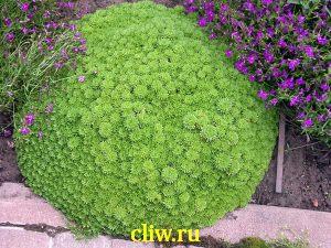 Камнеломка арендса (saxifraga arendsii) камнеломковые (saxifragaceae) triumph