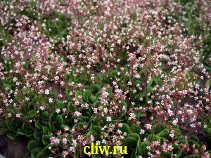 Камнеломка тенистая (saxifraga urbium) камнеломковые (saxifragaceae)