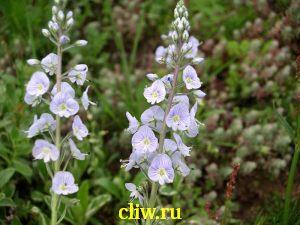 Вероника горечавковая (veronica gentianoides) норичниковые (scrophulariaceae) variegata