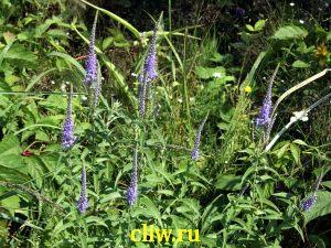 Вероника длиннолистная (veronica longifolia) норичниковые (scrophulariaceae)