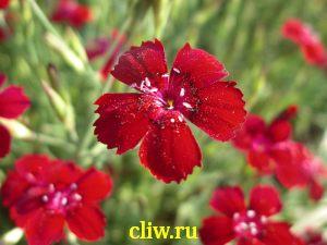 Гвоздика травянка (dianthus deltoides) гвоздичные (caryophyllaceae)