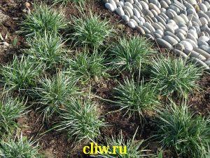Сеслерия голубая (sesleria caerulea) мятликовые (poaceae)