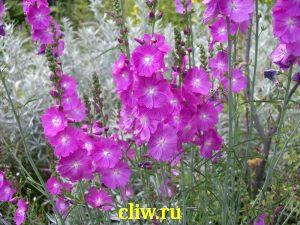 Сидальцея мальвоцветковая (sidalcea malviflora) мальвовые (malvaceae)