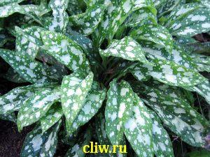 Медуница сахарная (pulmonaria saccharata) бурачниковые (boraginaceae)