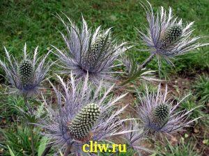 Синеголовник альпийский (eryngium alpinum) зонтичные (apiaceae)