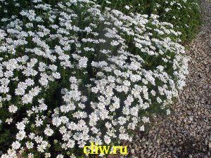 Иберис вечнозелёный (iberis sempervirens) капустные (brassicaceae)
