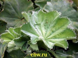 Манжетка мягкая (alchemilla mollis) розоцветные (rosaceae)