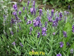 Лаванда узколистная (lavandula angustifolia) губоцветные (lamiaceae)