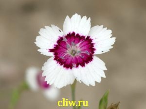 Гвоздика травянка (dianthus deltoides) гвоздичные (caryophyllaceae) arctic fire