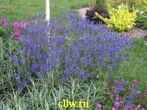 Вероника большая (veronica teucrium) норичниковые (scrophulariaceae) royal blue