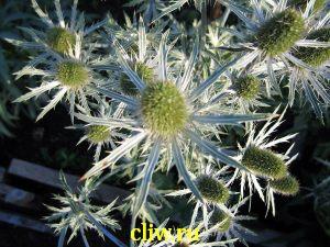 Синеголовник плосколистный (еryngium planum) зонтичные (apiaceae)