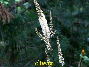 Клопогон обыкновенный (cimicifuga simplex) лютиковые (ranunculaceae)