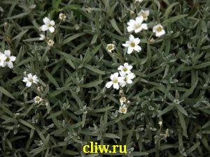 Ясколка войлочная (cerastium tomentosum) гвоздичные (caryophyllaceae)