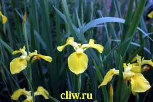 Ирис болотный (iris pseudacorus) касатиковые (iridaceae)