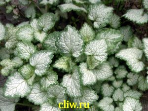 Яснотка крапчатая (lamium maculatum) губоцветные (lamiaceae) silver beacon