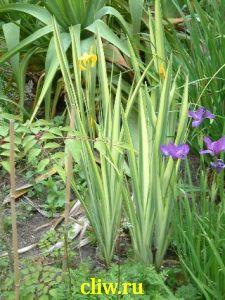 Ирис болотный (iris pseudacorus) касатиковые (iridaceae) variegata