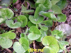 Копытень европейский (asarum europaeum) кирказоновые (aristolochiaceae)