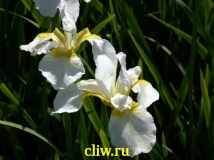 Ирис сибирский (iris sibirica) касатиковые (iridaceae) alba