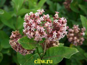 Ваточник сирийский (asclepias syriaca) кутровые (кутровые)