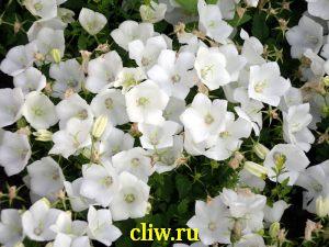 Колокольчик карпатский (campanula carpatica) колокольчиковые (campanulaceae) white clips