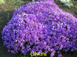 Колокольчик карпатский (campanula carpatica) колокольчиковые (campanulaceae) karl forster