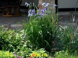 Ирис сибирский (iris sibirica) касатиковые (iridaceae) cambridge