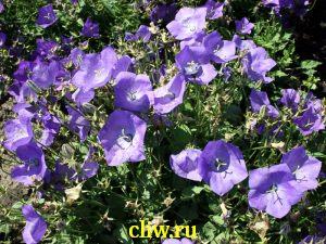 Колокольчик карпатский (campanula carpatica) колокольчиковые (campanulaceae) blue clips