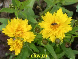 Кореопсис крупноцветковый (coreopsis grandiflora) астровые (asteraceae) sunray