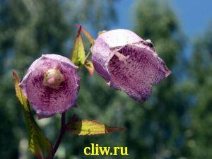 Колокольчик крапчатый (campanula punctata) колокольчиковые (campanulaceae)