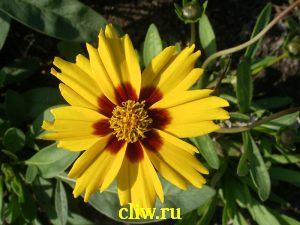 Кореопсис ланцетовидный (coreopsis lanceolata) астровые (asteraceae) baby sun