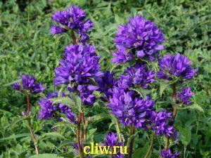 Колокольчик скученный (campanula glomerata) колокольчиковые (campanulaceae) superba