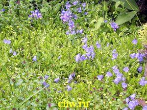 Колокольчик ложечницелистный (campanula cochleariifolia) колокольчиковые (campanulaceae) bavaria blue