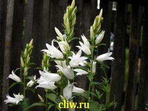 Колокольчик широколистный (campanula latifolia) колокольчиковые (campanulaceae) alba