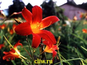 Лилейник гибридный (hemerocallis hybrida) лилейные (liliaceae) gusto