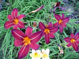 Лилейник гибридный (hemerocallis hybrida) лилейные (liliaceae) knighthood