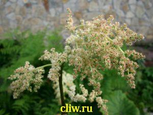 Астильбоидес пластинчатый (astilboides tabularis) камнеломковые (saxifragaceae)