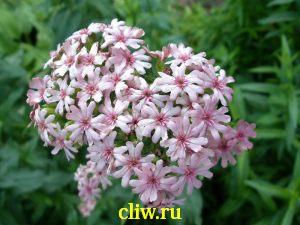 Лихнис  халцедонский (lychnis chalcedonica) гвоздичные (caryophyllaceae) carnea