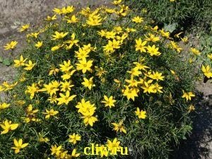 Кореопсис мутовчатый (coreopsis verticillata) астровые (asteraceae)