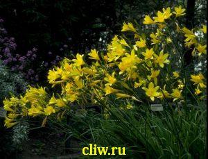 Лилейник ширококорончатый (hemerocallis lilio-asphodelus) лилейные (liliaceae)