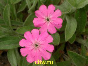 Лихнис  юпитера (lychnis flos-jovis ) гвоздичные (caryophyllaceae)