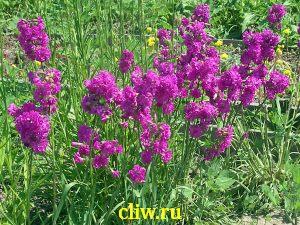 Лихнис вискария (lychnis viscaria) гвоздичные (caryophyllaceae) pleno