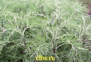 Полынь лечебная (artemisia abrotanum) астровые (asteraceae)