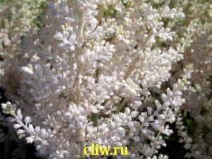 Астильба арендса (astilbe arendsii) камнеломковые (saxifragaceae) diamant
