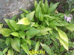 Хоста ланцетолистная (hosta lancifolia) хостовые (hostaceae)