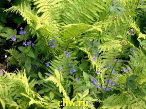 Страусник обыкновенный (matteuccia struthiopteris) щитовниковые (dryopteridaceae)