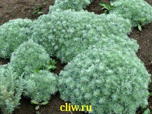 Полынь шмидта (artemisia schmidtiana) астровые (asteraceae) nana