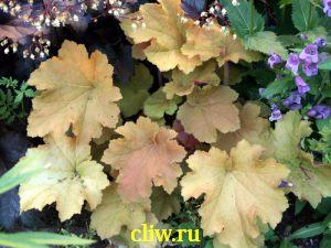 Гейхера  (heuchera ) камнеломковые (saxifragaceae) amber waves