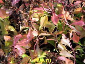 Очиток камчатский (sedum kamtshaticum) толстянковые (crassulaceae) elacombianum