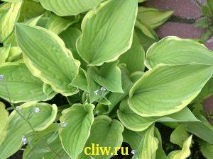 Хоста форчуна (hosta fortunei) хостовые (hostaceae) aureomarginata